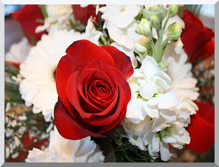 Kim O'Leary Photography Christmas Rose stretched canvas art print
