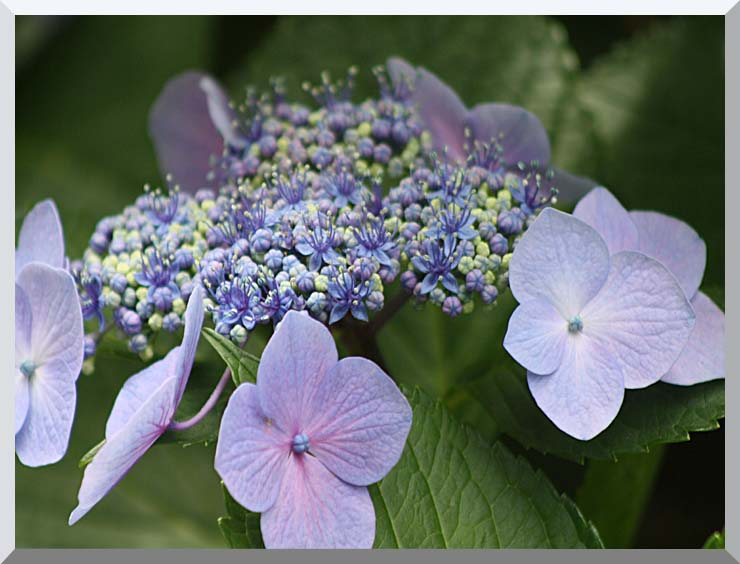 Kim O'Leary Photography Blooming Hydrangea stretched canvas art print
