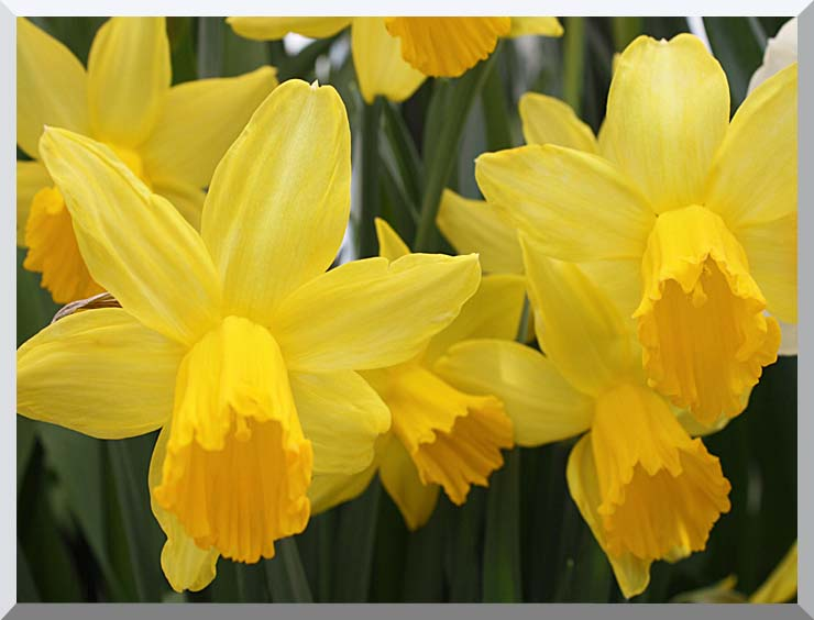 Kim O'Leary Photography Yellow Daffoldils stretched canvas art print