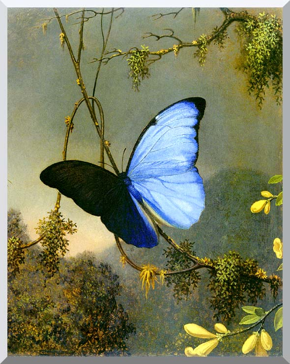 Martin Johnson Heade Blue Morpho Butterfly stretched canvas art print