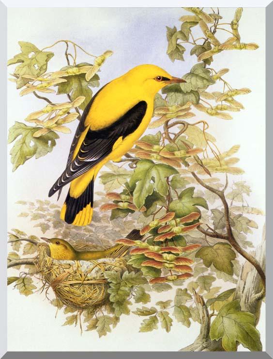 John Gould Golden Oriole stretched canvas art print