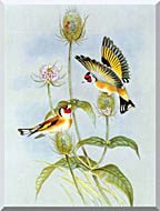 John Gould Goldfinch stretched canvas art