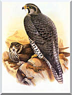 John Gould Gyrfalcon stretched canvas art