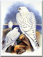 John Gould Gyrfalcon   Greenland Falcon stretched canvas art