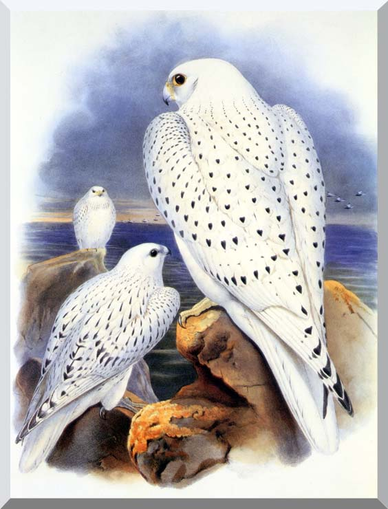 John Gould Gyrfalcon - Greenland Falcon stretched canvas art print