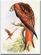 John Gould Red Kite stretched canvas art