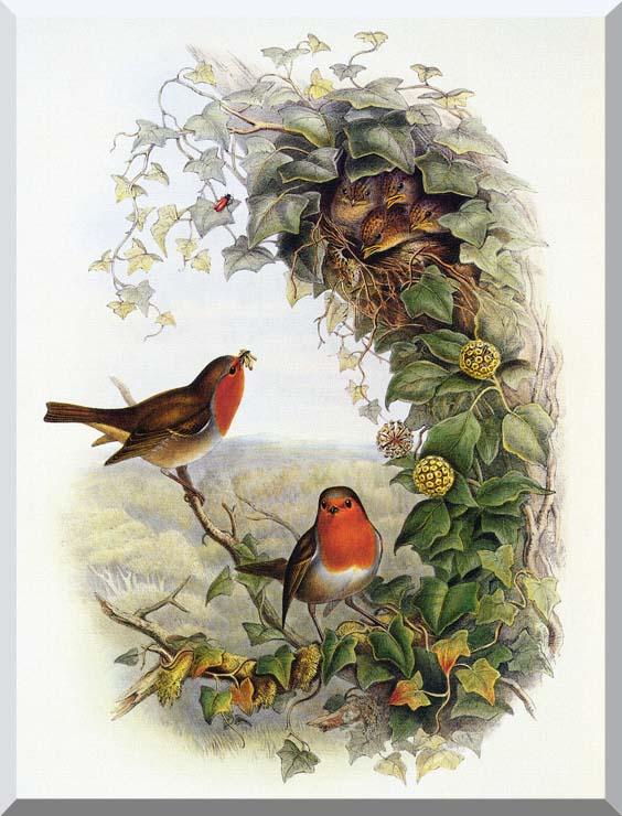 John Gould Robin stretched canvas art print