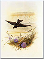 John Gould Sand Martin stretched canvas art