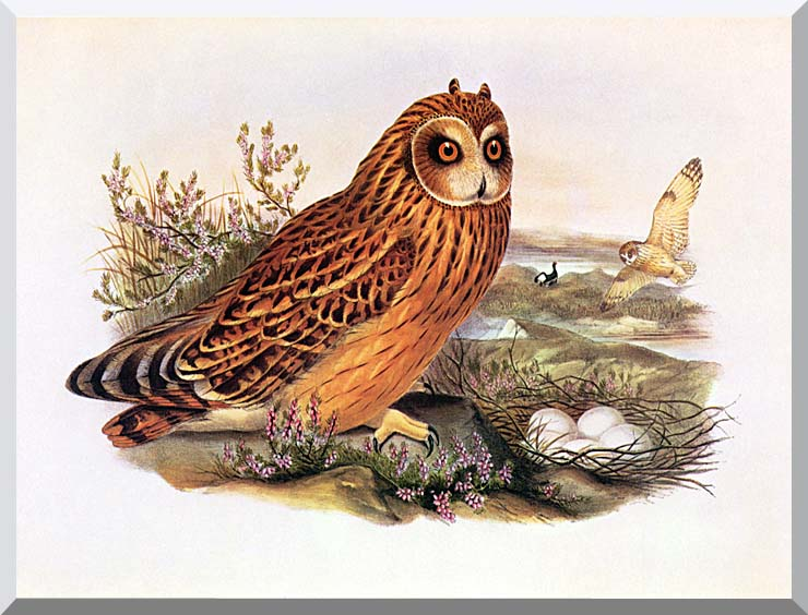 John Gould Short-Eared Owl stretched canvas art print