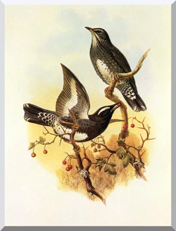 John Gould Siberian Thrush stretched canvas art print