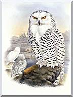 John Gould Snowy Owl stretched canvas art