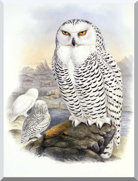 John Gould Snowy Owl stretched canvas art print