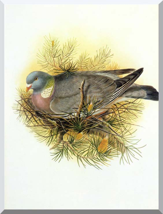 John Gould Wood Pigeon stretched canvas art print