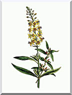William Curtis Bulb Bearing Loosestrife stretched canvas art