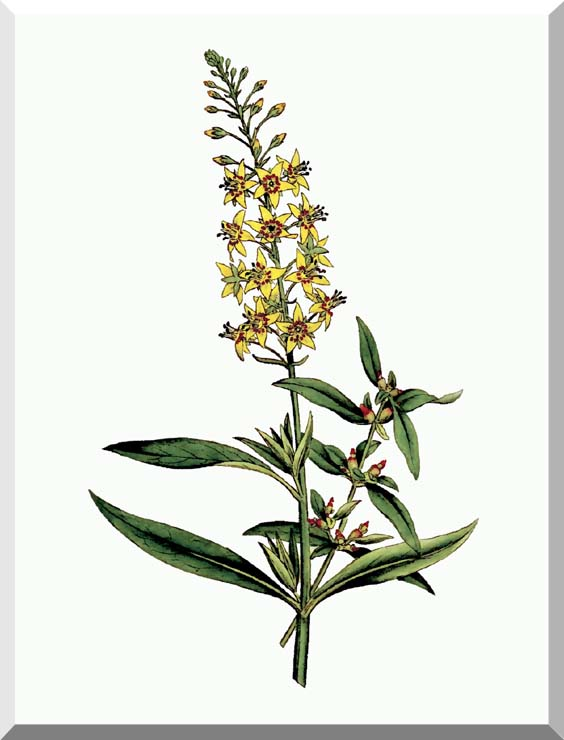 William Curtis Bulb Bearing Loosestrife stretched canvas art print