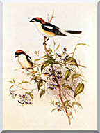 John Gould Woodchat Shrike stretched canvas art