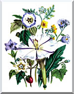 Jane Loudon Flower Art Print stretched canvas art