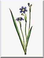 William Curtis Iris Leaved Sisyrinchium stretched canvas art