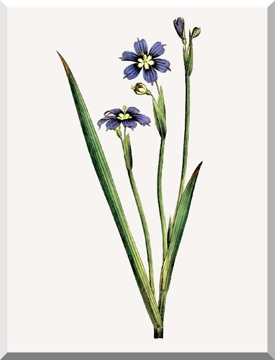 William Curtis Iris-Leaved Sisyrinchium stretched canvas art print