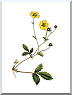 William Curtis Large Flowered Potentilla stretched canvas art