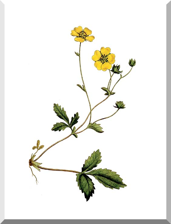 William Curtis Large Flowered Potentilla stretched canvas art print