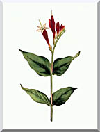 William Curtis Maryland Spigelia stretched canvas art
