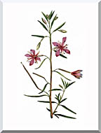 William Curtis Narrowest Leaved Willow Herb stretched canvas art
