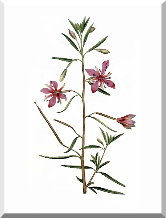 William Curtis Narrowest-Leaved Willow Herb stretched canvas art print