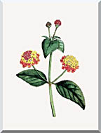 William Curtis Prickly Lantana stretched canvas art