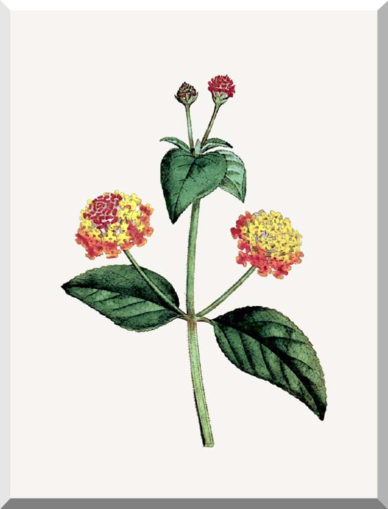 William Curtis Prickly Lantana stretched canvas art print