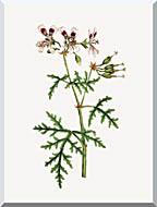 William Curtis Rasp Leaved Geranium stretched canvas art