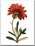 William Curtis Rigid Leaved Gorteria stretched canvas art