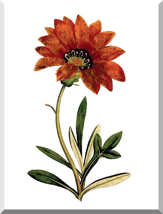 William Curtis Rigid-Leaved Gorteria stretched canvas art print