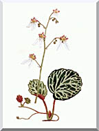 William Curtis Strawberry Saxifrage stretched canvas art