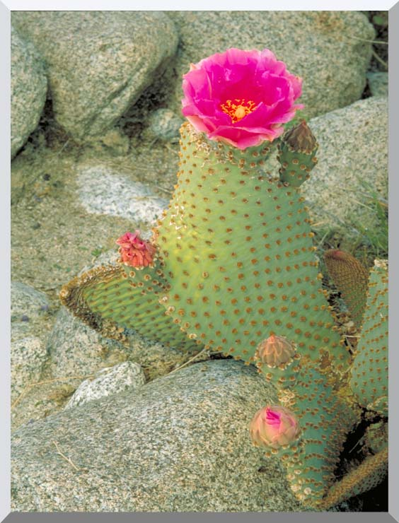 U S Fish and Wildlife Service Beavertail Cactus stretched canvas art print