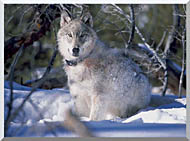 U S Fish And Wildlife Service Gray Wolf In Snow stretched canvas art