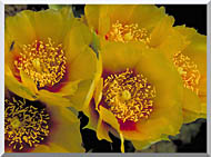 U S Fish And Wildlife Service Eastern Prickly Pear Cactus Flowers stretched canvas art