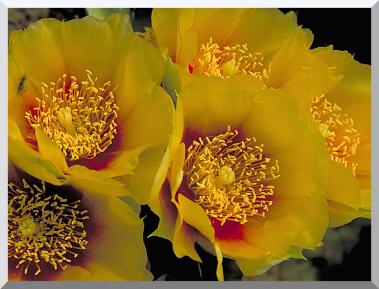 U S Fish and Wildlife Service Eastern Prickly Pear Cactus Flowers stretched canvas art print