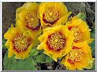 U S Fish And Wildlife Service Eastern Prickly Pear Cactus stretched canvas art