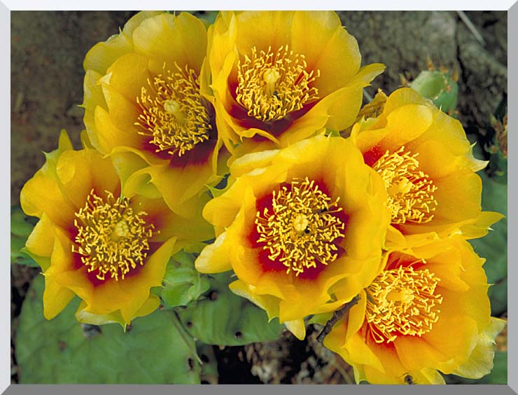 U S Fish and Wildlife Service Eastern Prickly Pear Cactus stretched canvas art print