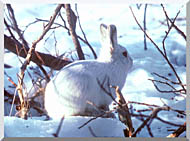 U S Fish And Wildlife Service Artic Hare Rabbit stretched canvas art