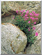 U S Fish And Wildlife Service Fireweed stretched canvas art