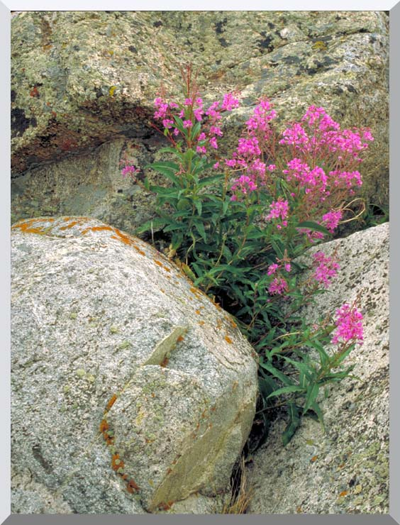 U S Fish and Wildlife Service Fireweed stretched canvas art print
