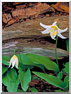 U S Fish And Wildlife Service Glacier Lily stretched canvas art