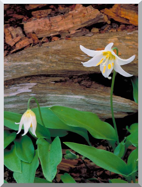 U S Fish and Wildlife Service Glacier Lily stretched canvas art print