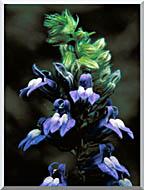U S Fish And Wildlife Service Great Blue Lobelia stretched canvas art