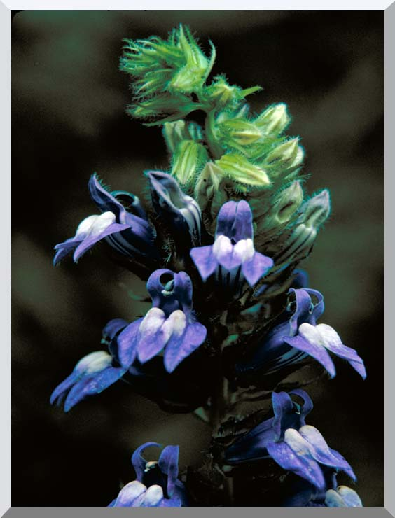 U S Fish and Wildlife Service Great Blue Lobelia stretched canvas art print