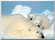 U S Fish And Wildlife Service Polar Bear With Cubs stretched canvas art
