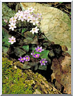 U S Fish And Wildlife Service Hepatica stretched canvas art