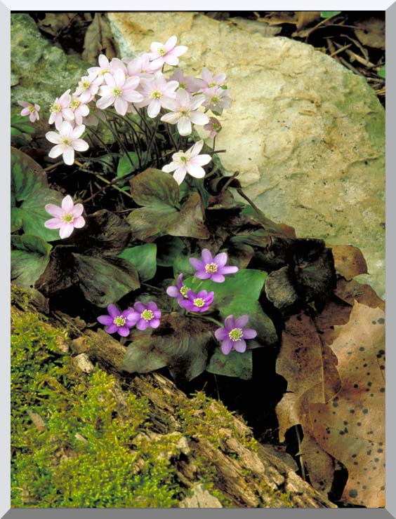 U S Fish and Wildlife Service Hepatica stretched canvas art print